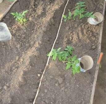 Другими словами, погружение растения в землю глубже чем они были посажены до этого было бы ошибкой.