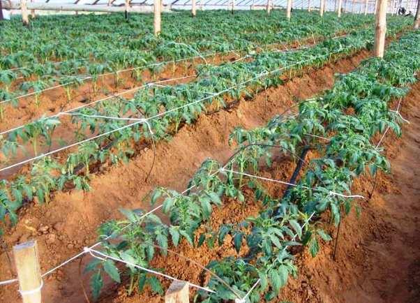 Опытные земледельцы знают, что лучше всего обогатить грунт, выделенный под томатные грядки, еще осенью.