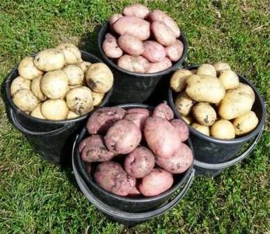 Перед посадкой сорта «Невский», клубни нужно подготовить. Этот картофель отлично лежит всю зиму и к весне начинает прорастат