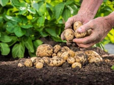 Сколько картофеля вы выкопаете осенью, зависит от множества факторов: качества посадочного материала, борьбы с вредителями, окучивания, прополки, полива.