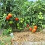 Голландские семена томатов для открытого грунта
