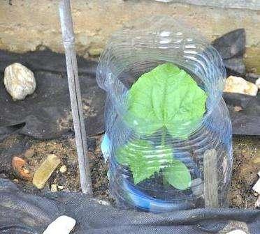 Среди садоводов все большую популярность приобретает посадка огурцов в 5-литровых бутылках.