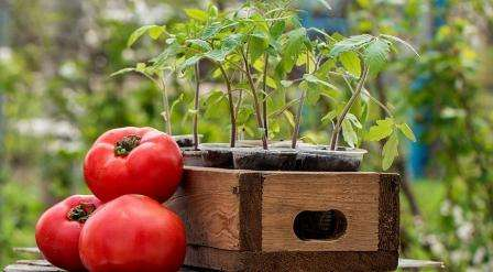 В этой статье нашего сайта о фермерстве обсудим, как должна производиться подкормка рассады помидоров в домашних условиях.
