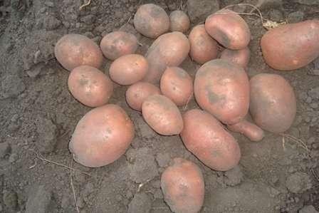 Данный вид не особенно прихотливый к составу грунта, исключением является тяжелая глинистая почва. Он обладает способностью хорошо храниться, что немаловажно для раннего сорта, и устойчивостью к механическим повреждениям. Не подвержен картофельному раку и золотистой картофельной нематоде.