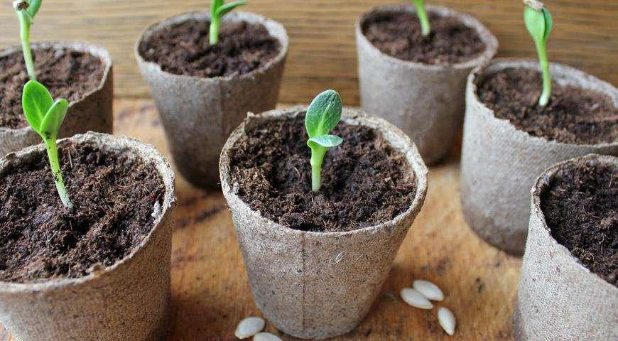 Исходя из того, что в открытый грунт необходимо сажать огуречную рассаду, которой не менее двух и не более трех недель, можно легко определить, когда сеять семена.