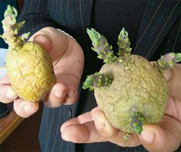 При проращивании семенного картофеля на свету он зеленеет. Это происходит по причине выработки в клубнях природного канцерогена — соланина.