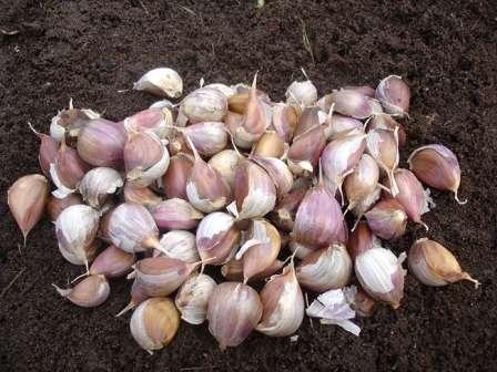 Не подходят для посадки головки, на которых не более 3-4 зубчиков. Кроме того, не стоит сажать семена миниатюрного размера, так как урожай будет иметь соответствующие габариты.