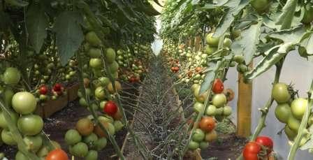 Какие сорта помидор самые урожайные для теплиц?