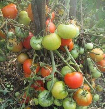 Этот сорт не просто урожайный, он супер урожайный!