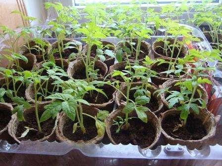 О недостатке питательных веществ молодые ростки могут заявить скрученными листьями. При нехватке железа ботва бледнеет, при недостатке фосфора — темнеет и приобретает фиолетовый оттенок, а если саженцам не хватает азота — они слишком медленно растут, вянут и желтеют.