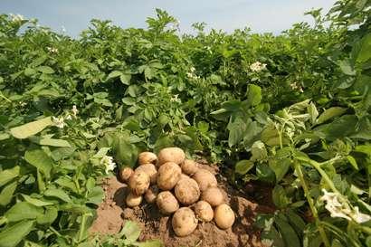 Описание ранних сортов картофеля. Уход