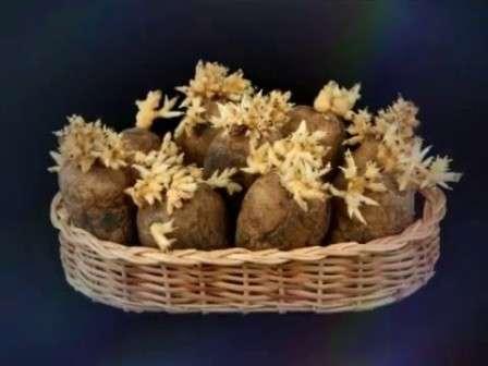 Так зачем же тратить силы на проращивание семенного картофеля в домашних условиях?