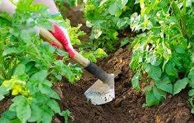 Поливать картофель «Невский» следует примерно раз в неделю, или же чаще, в случае, если дождя нет долгое время. После полива, как и другие сорта, этот картофель требует рыхления  почвы. Когда картофель начинает цвести, стоит поливать его чащ