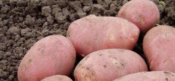 Выращивать картофель этого сорта лучше всего в рыхлой почве с нейтральной реакцией. Такая почва не дает клубням деформироваться. Допускается смешивание грунта с черноземом.