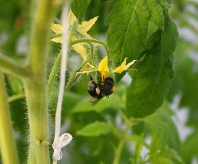 При выращивании в теплице томатов, которые нуждаются в опылении, ключевую роль в получении богатого урожая приобретает опыление.