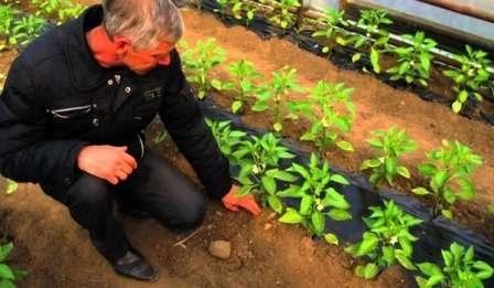 Жители южных регионов могут сажать перец в открытый грунт с начала мая.