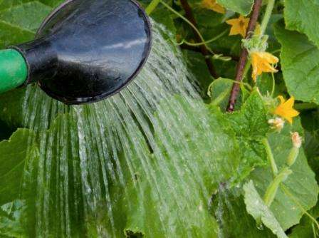 В идеале необходимо совершать полив два раза в день — утром и вечером. Растут огурцы ночью.