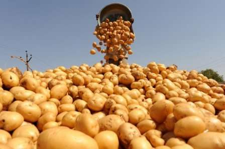 Как удобрять картофель для наилучшего урожая?