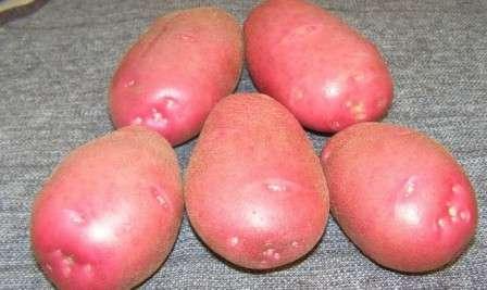 Тема этой статьи - картофель «Беллароза», описание сорта. Фото на нашем сайте помогут вам представить себе это растение и вырастить его на своей ферме.