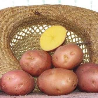 Отличительная особенность сорта – отсутствие цветков на кусте. Это не является показателем заболеваемости растения. В связи с тем, что формирование созревание клубней происходит быстро, случается, что картофель не успевает зацветать. На качество урожая отсутствие цветения, практически, не влияет.