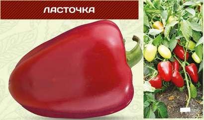 Сорт перца «Ласточка» считается самым распространенным красным сладким перцем.