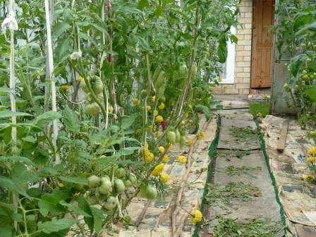 Мульча способствует сохранению влаги в грунте, сохраняя его структуру, и препятствует росту сорняков. Все это помогает увеличить урожайность культуры на 20-30 %.