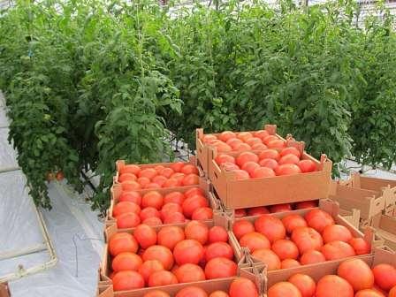 Сорта помидоров для теплицы из поликарбоната