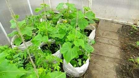 Вас заинтересовал интересный способ выращивания огурцов в мешках?