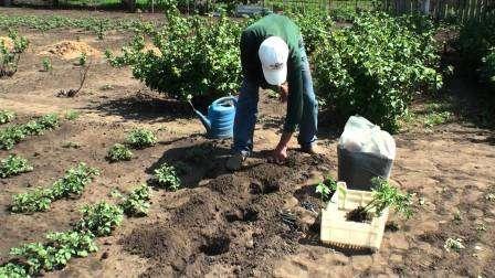 Если достаточное количество удобрений было внесено при подготовке почвы осенью или весной, то во время посадки рассаду совсем не обязательно подкармливать.