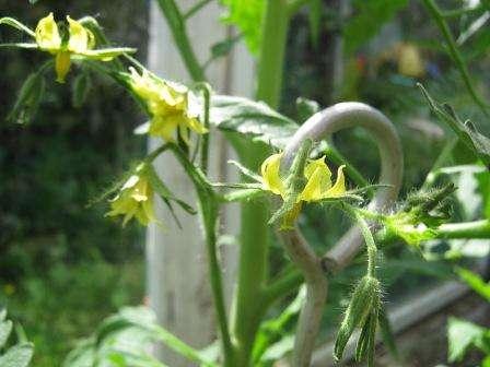 Но если вы не пчеловод, то каждые два-три дня встряхивайте цветочные кисти томатов. Этот метод опыления применим также в случаях, когда погода мешает вылету насекомых. Сразу после встряхивания кустов дачники обычно смачивают почву.