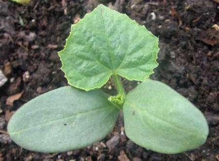 При пикировке корни ростков не повреждаются.