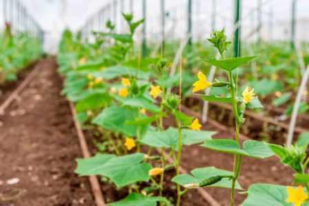 На этой странице нашего сайта о фермерстве описан уход за огурцами в теплице от посадки до урожая.