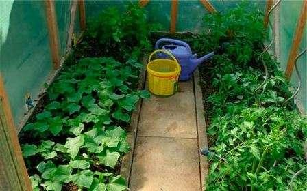 Таким образом, мы приходим к умозаключению, что помидоры и перец можно выращивать под одним укрытием без проблем.