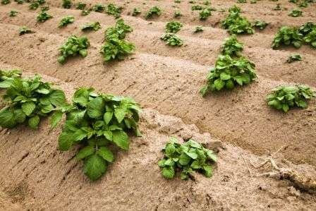 Его проводят несколько раз за сезон. Небольшие ростки практически полностью следует покрыть землей. Это важно для того, чтобы картофельные кусты смогли развить хорошую корневую систему.