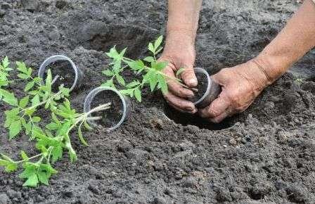 Не все, но многие земледельцы убеждены, что не стоит игнорировать влияние Луны на рост и развитие сельскохозяйственных культур.