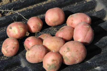 Тема этой статьи - картофель Ред Скарлет: описание сорта. Фото и наши рекомендации непременно помогут вам вырастить богатый урожай вкусных корнеплодов.