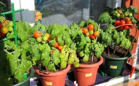 Многие сорта томатов, которые можно выращивать зимой на окне, родят совсем миниатюрные плоды и являются скорее декоративным украшением.