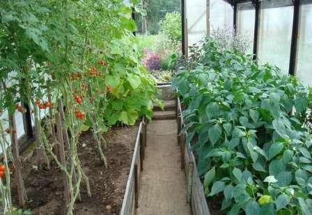 Итак, попытаемся подробно разобраться, можно ли сажать в одной теплице огурцы и помидоры и перцы.