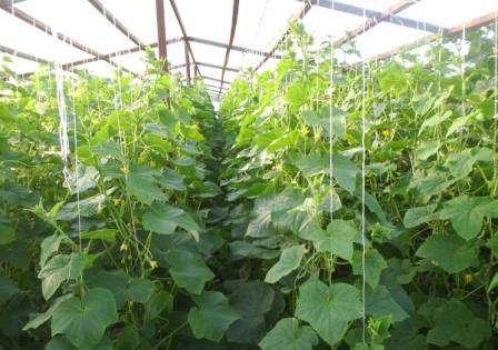 А чтобы собрать по-настоящему много «знатных» зеленцев, необходимо изучить выращивание огурцов в теплице из поликарбоната от и до.