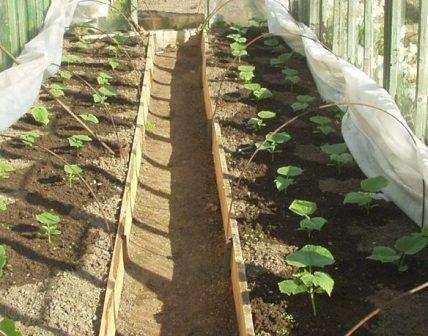 В неотапливаемую теплицу огуречную рассаду можно высаживать только тогда, когда грунт хорошо прогреется — это конец апреля или начало мая.
