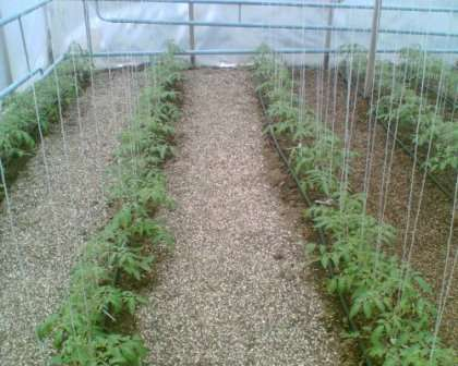 Уход за помидорами после высадки в теплицу — вопрос, достойный особого внимания. Если не иметь достаточно знаний в этой области, нельзя рассчитывать на щедрый урожай.