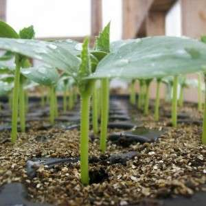 На этой странице нашего сайта, созданного для фермеров-новичков, мы расскажем об этом эффективном методе быстрого получения росточков.