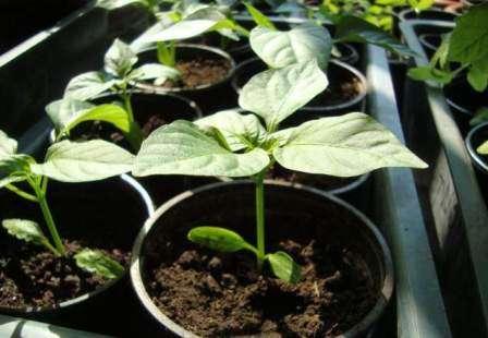 Как сажать перец на рассаду: рекомендации специалистов