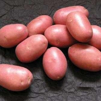 Важно вовремя обрабатывать картофель химическими средствами, которые сдержат заражение различными заболеваниями. Перед началом сбора урожая, важно удалять ботву. Этот метод помогает укрепить кожу корнеплода, она не будет скатываться при повреждениях. Первый урожай (который годится на семена) собирается ближе к концу июля, основной – к концу лета.