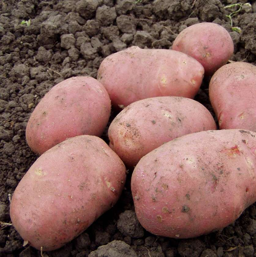 Данный сорт картофеля относится к среднеспелым видам. Он имеет неплохую устойчивость к засухе, дает отличный урожай и созревает в течение 100-120 дней, в зависимости от климата и места выращивания.