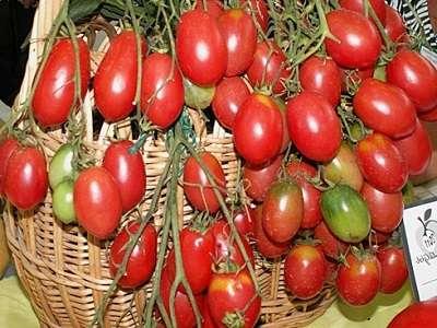 Среди самых известных ампельских сортов помидоров для выращивания в комнатных условиях можно назвать такие: Горожанин, Садовая жемчужина, Черрипальчики, Талисман, Тумблер, Красное изобилие.
