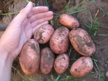 В случае если климат, где высаживается сорт картофеля Ред Скарлет засушливый, с жарким летом – важно регулярно увлажнять грунт, а клубни предпочтительно формировать как можно более крупные.