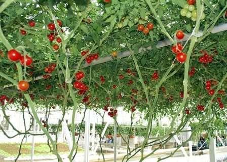 За необычайную энергию роста этот сорт помидор прозвали «томатным деревом».