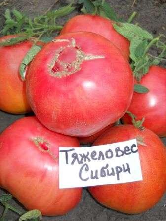 Тяжеловес Сибири. Уникальный раннеспелый томат для открытого грунта, который, несмотря на то, что является низкорослым (от 40 до 60 см) дает достаточно крупные плоды.