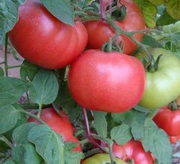 Среднеспелый томат для открытого грунта Подмосковья и других регионов средней полосы.